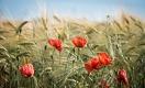 Аномальная погода: аграрии опасаются снижения цен на зерно