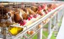 Птичий грипп в Казахстане: кто не получит компенсацию?