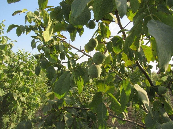 Плантация орехов в Казахстане