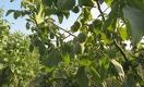 Выращивать грецкий орех в Казахстане — не экзотика