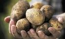 Картофелеводы Казахстана идут штурмом на узбекский и российский рынки