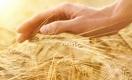 Рентабельность производства казахстанской пшеницы упала до 5%