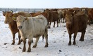 Почему Казахстан ввел мораторий на экспорт живого скота