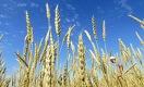 Будет ли казахстанская пшеница стоить больше 100 тыс. тенге за тонну?