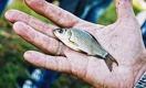 «Рыбий пузырь» за 541 млрд: эксперты сомневаются в успехе программы рыбоводства
