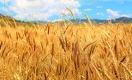 Увеличит ли Минсельхоз квоты на экспорт зерна?