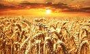 В Канаде разгорелся скандал из-за поставки ценных сортов семян в Казахстан