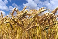 Robust outlook for global cereal supplies in 2016