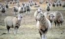 Почему Казахстан не может обогнать Турцию и Монголию и стать лидером в производстве баранины