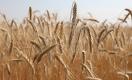 Казахстан рискует в два раза снизить урожайность пшеницы из-за изменения климата