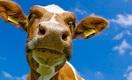 Толстые казахстанцы среди тощих коров